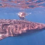 Comme pour les requins, des remoras accompagnent les requins-baleines en se collant à leur peau.